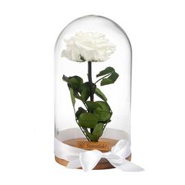 Örökrózsa üvegbúrában - nagy méretű fehér örök rózsa